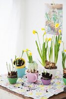 Narcissus and crocus planted in pastel teacups