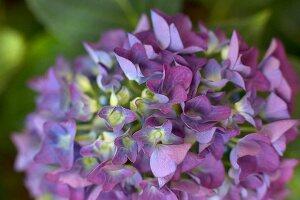 Purple hydrangea flower (close-up)