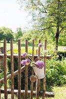 Allium flowers in vintage bucket on rustic paling gate in sunny cottage garden
