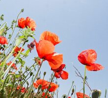 Mohnblumen vor blauem Himmel