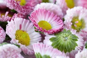 Daisies, (bellis perennis), close-up
