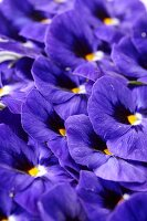 Blue pansies (full frame)
