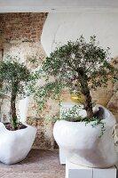Zwei Zimmerbäume in organisch geformten, weißen Übertöpfen
