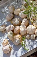 Washed snail shells drying on aluminium tray outside