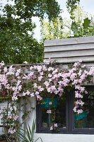 Pink-flowering clematis growing on façade below clapboard balustrade