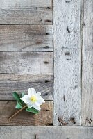 Hellebore flower on weathered wooden surface