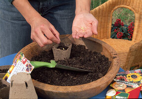 Sowing Summer Flowers - Laying the seeds in the Jiffy pots