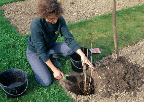 Planting raspberry bush - covering the roots with better soil
