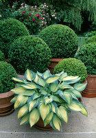 Pot garden with Hosta hybrid 'June' and Buxus in terracotta pots