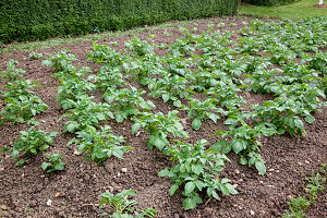 Potato field (Solanum tuberosum), rows are piled