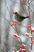 Blackbird in winter eats ornamental apple