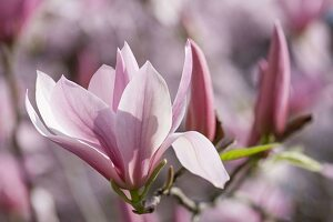 Magnolia liliiflora (Purple Magnolia)