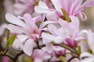 Magnolia X loebneri 'Leonard Messel' (Loebner's Magnolia)