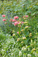 Nymans, SUSSEX. THE NATIONAL TRUST : Pink POPPIES AND PHLOMIS IN THE HERBACEOUS BORDER, EVENING Light, JUNE