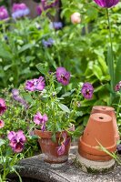 Violas in terracotta pot in garden