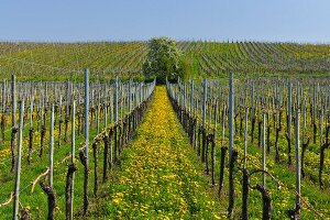 Spring vineyard with dandelions (Hagnau, Baden-Wurttemberg, Germany)