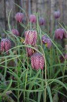 Snake's head fritillaries in garden