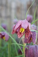 Snake's head fritillary with yellow stamens