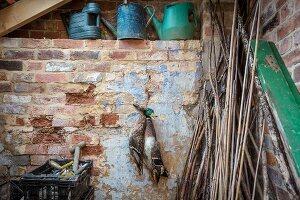 Recently shot mallard ducks hanging in she (Melton Mowbray UK)
