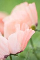Delicate pale pink poppy