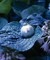 Silver Christmas-tree bauble and water droplets on hosta leaf