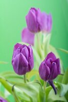 Purple tulips against green background
