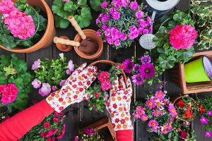 Various spring and summer flowers, flower box and gardening tools, hands potting on plant