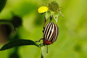 Colorado potato beetle (Leptinotarsa decemlineata) on plant in garden