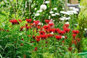 Flowering bee balm (Monarda) in garden