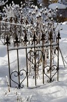 Rudbeckia seedheads amongst ornamental metal fencing in wintry, snow-covered garden
