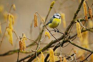 Blue tit (Parus caeruleus) sitting on branch of hazel amongst wintry catkins