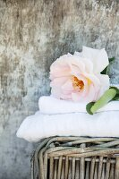 Overblown rose on stacked towels