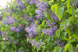Flowering lilac in garden