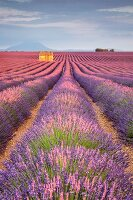 House in a lavender field at sunset, Plateau de Valensole, Alpes-de-Haute-Provence, Provence-Alpes-Cote d Azur, France, Europe