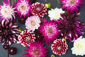 Various types of dahlias