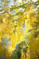 Blühender Goldregen im Sonnenlicht
