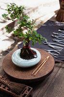 Bonsai tree on metal tray next to tools on table