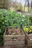 Mini Gemüsebeete in Holzkisten