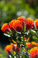 Bright orange Leucospermum flowers
