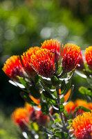 Orangefarbene Blüten des Leucospermum