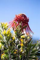 Rote Blüte des Leucospermum vor blauem Himmel
