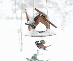 Great spotted woodpecker feeding from bird table in winter
