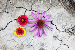 Helenium and Echinacea flowers on cracked dry earth