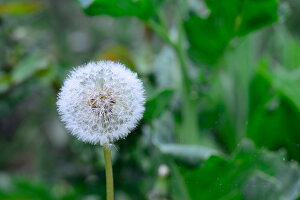 Dandelion clock in garden