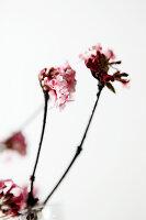 Blüten vom Winterschneeball