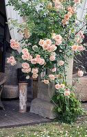 Rose climbing up pillar of terrace