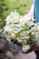 A hand holding a bowl of fresh elderflowers