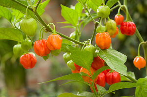 Capsicum annuum, Chilli pepper