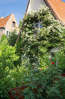 Luxuriant climbing rose covering façade of old house