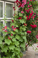 Hollyhocks and climbing rose against house façade